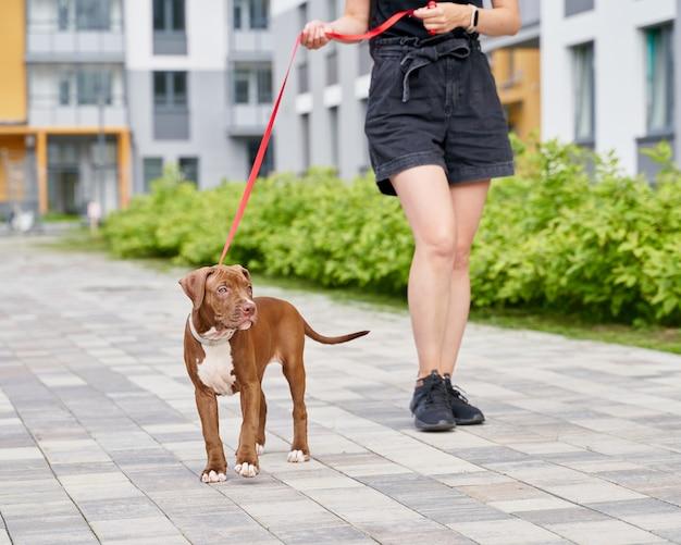 Pet-терапия с безликой женщиной американского питбультерьера, идущей с собакой на поводке на улице