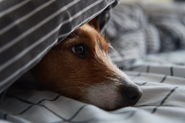침대에서 담요 아래에 애완 동물. 슬픈 강아지의 초상화는 추운 날씨에 따뜻하게