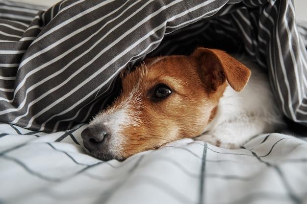 침대에서 담요 아래 애완 동물