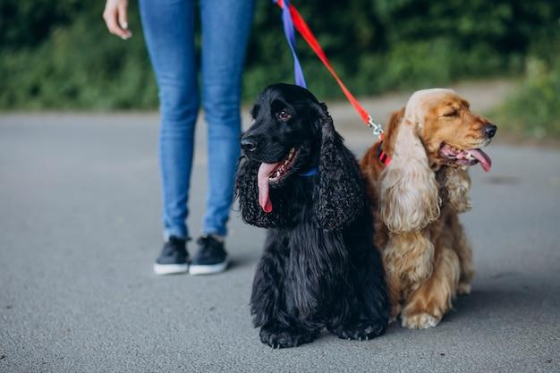 Pet walker having a stroll with cocker spaniel dogs