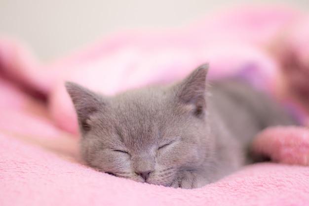 Британский котенок спит на розовом одеяле. милый котенок. обложка журнала. pet. серый котенок. остальные.