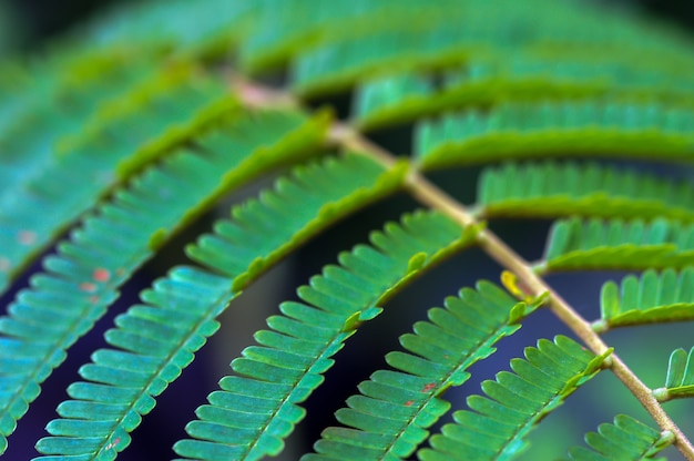 Petai leaves, a common name in indonesia for parkia speciosa leaves. natural background.