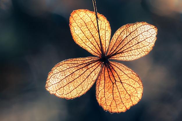 Petal of dry hydrangea flower