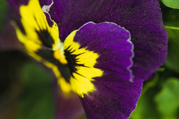 Petals of amazing violet fresh flower