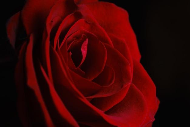 美しい赤いバラの花びらをクローズアップ。自然、自然の背景。
