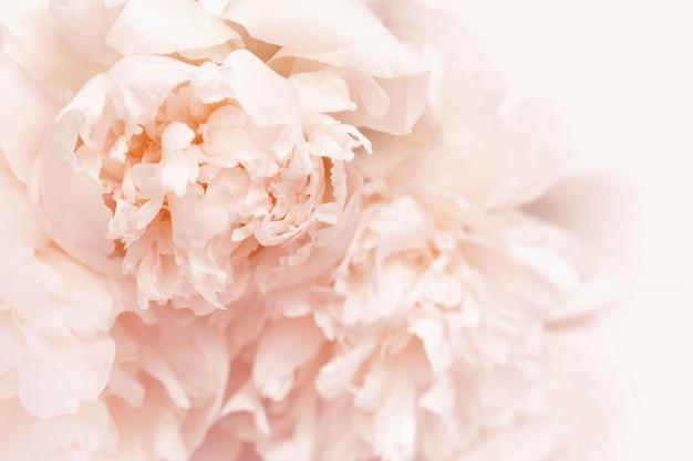 Petals of peony flowers close up