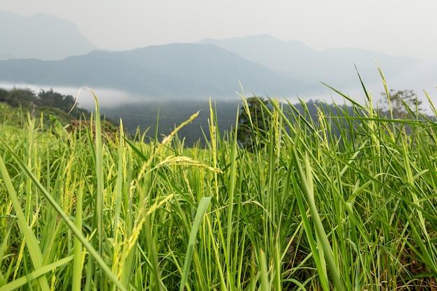 Красивая гора тумана над рисовыми полями в petchabun таиланде.