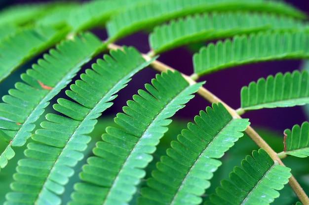 ピートの葉、インドネシアでパルキアスペシオサの葉の一般名