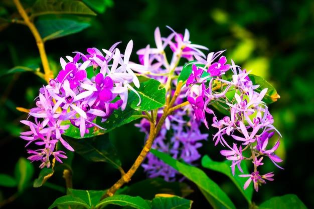 Petrea volubilis, красивые здоровые тропические фиолетовые цветки плюща, фиолетовые лепестки в саде.