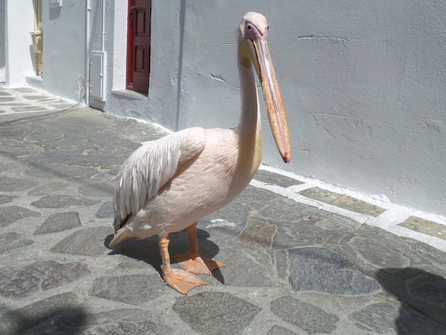 Petro or peter the pelican, famous pelican of mykonos town