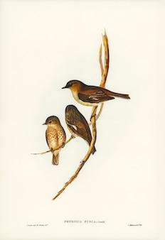 エリザベス・グールドが描くダスキー・ロビン(petroica fusca)