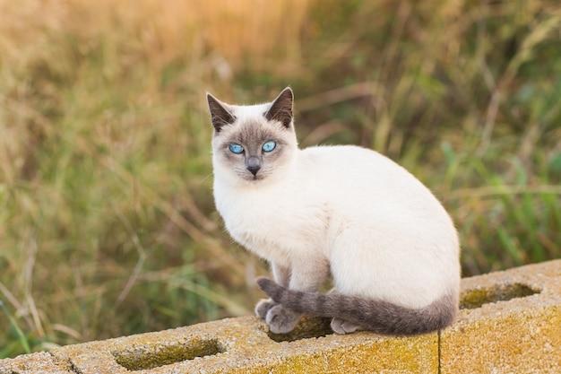 Концепция домашних животных и племенных животных. портрет сиамской кошки с голубыми глазами