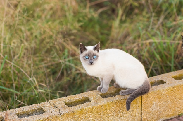 ペットと血統の動物の概念-青い目をしたシャム猫の肖像画