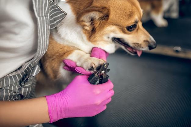 Салон ухода за домашними животными. грумер стрижет когти милой собаке