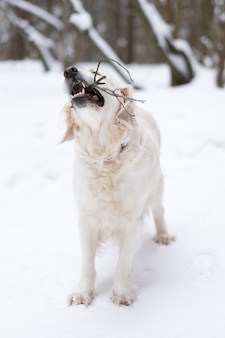 Pets in nature - a beautiful golden retriever nibbles on the stick in a winter snow-covered forest