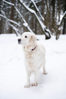Pets in nature. portrait of a beauty dog. a beautiful golden retriever stay in a winter snow-covered forest.