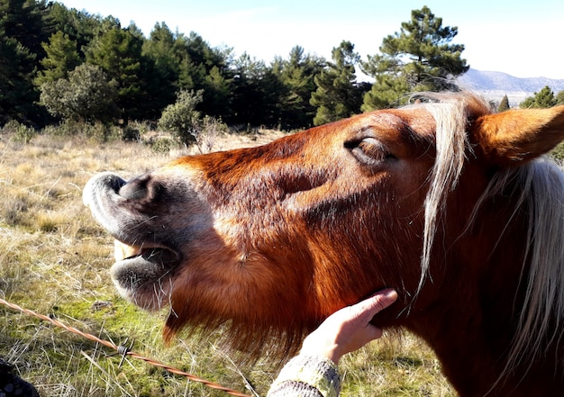 Petting a smiling brown horse with white hair