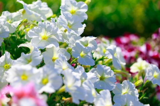 ペチュニアの花。太陽の光線で多くの色の明るい色の背景。