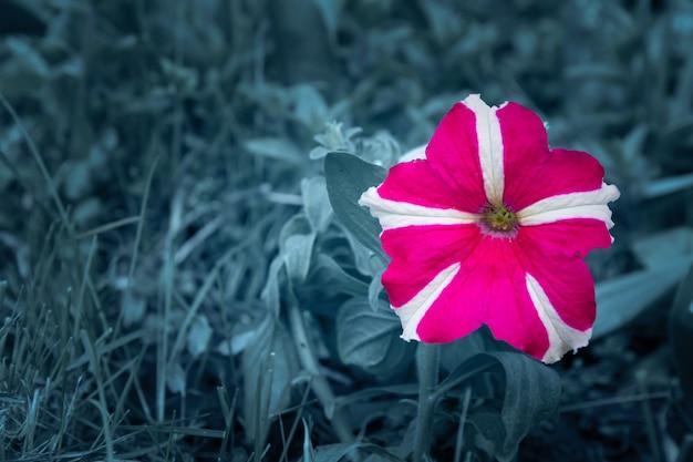 정원 침대에 groing 피튜니아 꽃입니다.