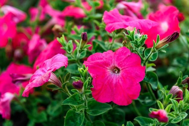 庭で育つペチュニアの花。