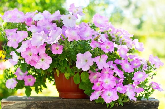 庭の鉢にペチュニアの花