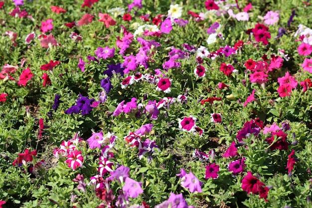 Petunia flower is blooming in the flower garden,winter flowers are blooming in winter.