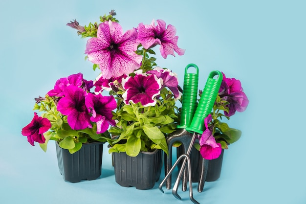 Petunia flowers, garden tools and a straw hat on the grass in the garden against