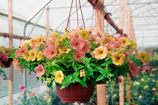 온실에 매달린 냄비에 피튜니아 꽃