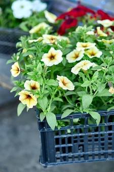 黒いプラスチックの木枠の園芸用品センターのペチュニアの花。屋外に植えるための花ペチュニアの苗が入った箱。庭仕事。