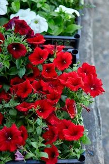 黒いプラスチックの木枠の園芸用品センターのペチュニアの花。屋外に植えるための花ペチュニアの苗が入った箱。