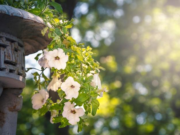 ビンテージポットのペチュニア吊り植物。ソフトフォーカス
