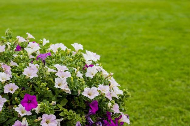 ペチュニアピンクとフクシア。 rgeen草の背景に花の茂み。