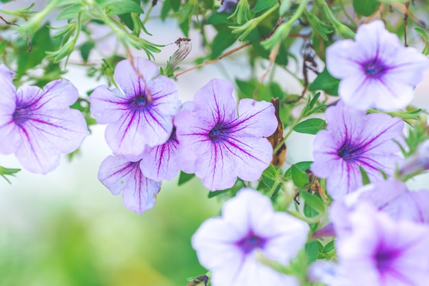 Petunia purple on a bouquet of blurred backgrounds
