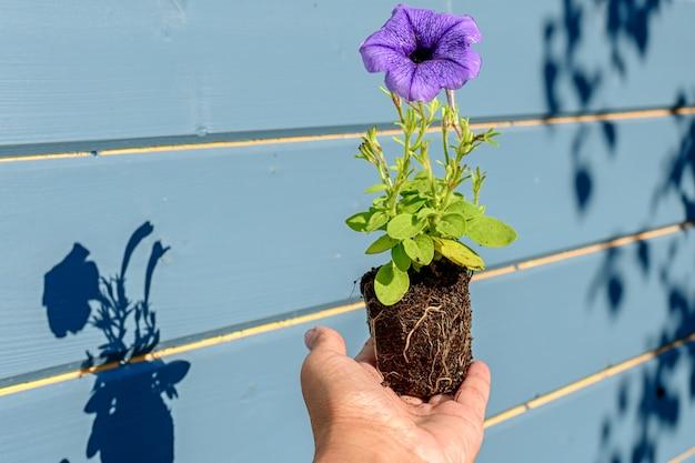 影のある庭師の手にライラックまたは青い花を持つペチュニアの苗、選択的なソフトフォーカスのクローズアップ写真。