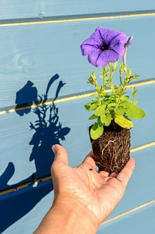 Petunia seedling with a lilac or blue flower in the hands of a gardener with shadows, a close-up photo with selective soft focus