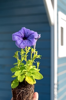 Petunia seedling with a lilac or blue flower in the hands of a gardener with shadows a closeup photo...