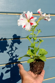 Petunia seedling with a white flower with red stripes in the hands of a gardener. close-up photo with shadows and selective soft focus