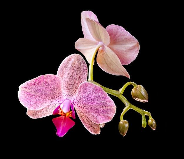 Phalaenopsis. orchid on black background