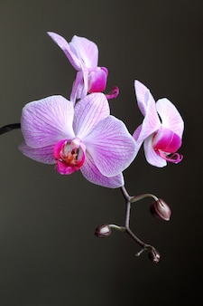 Phalaenopsis orchid branch on dark background