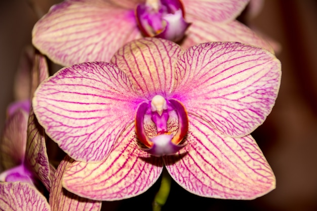 Phalaenopsis orchid flower, orchids is the queen of flowers in thailand