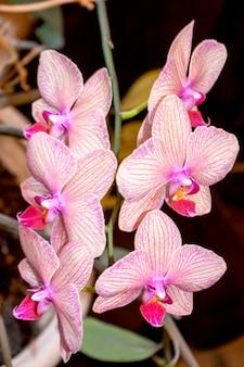 Phalaenopsis 난초 꽃, 난초는 태국 꽃의 여왕입니다