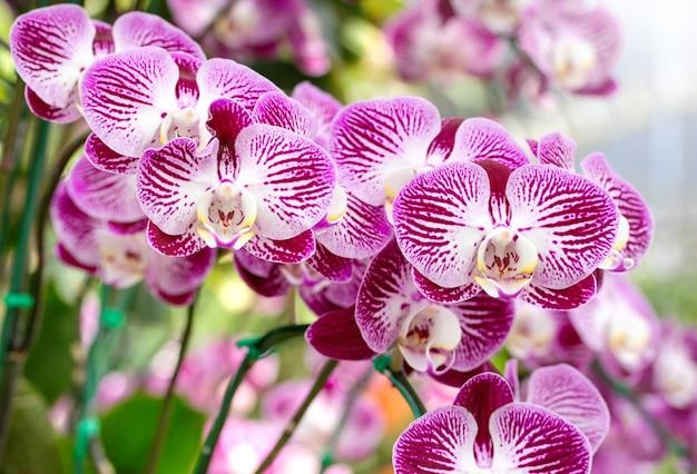 Цветок орхидеи фаленопсис