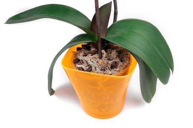 Орхидея фаленопсис в оранжевом горшке на белом фоне. домашнее растение