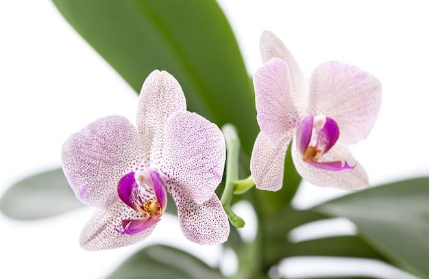 Phalaenopsis. orchid on white background