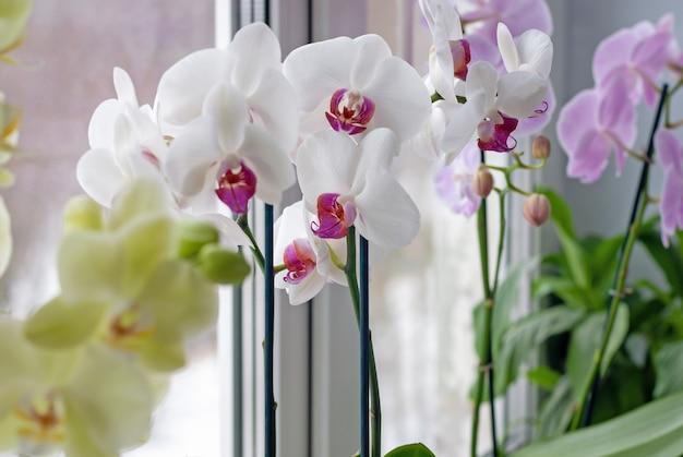 Орхидеи фаленопсис на подоконнике, выращивание и уход за комнатными растениями