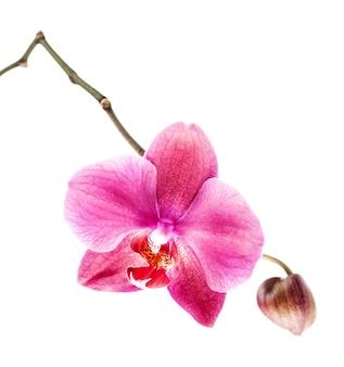호접란. 흰색 바탕에 분홍색 난초