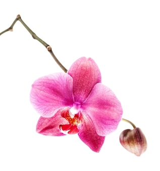 Phalaenopsis. pink orchid on white background