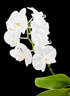 호접란. 검은 배경에 흰 난초