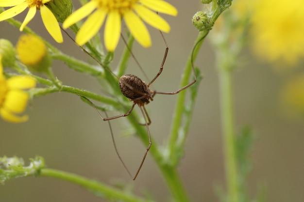 Phalangium opilio (female)