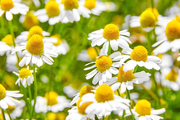 Pharmacy chamomile medicinal plant on field with white flowers
